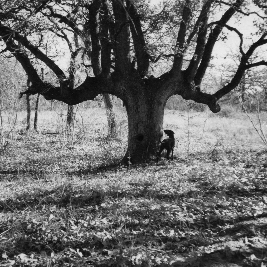 cool tree on ranch bw